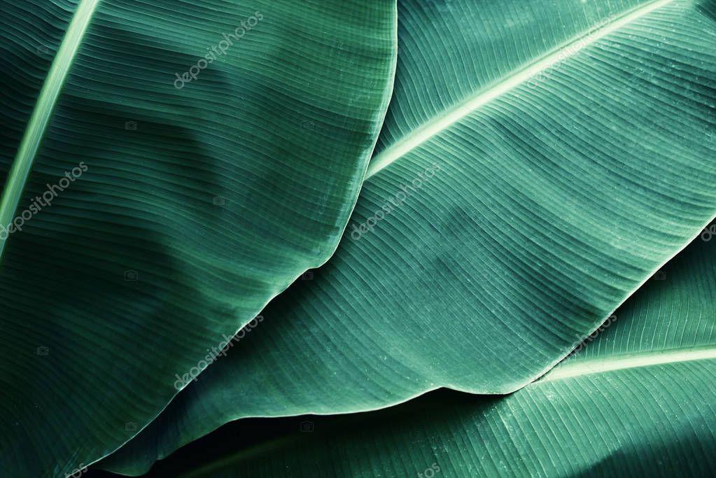 Beautiful tropical banana leaf texture background.