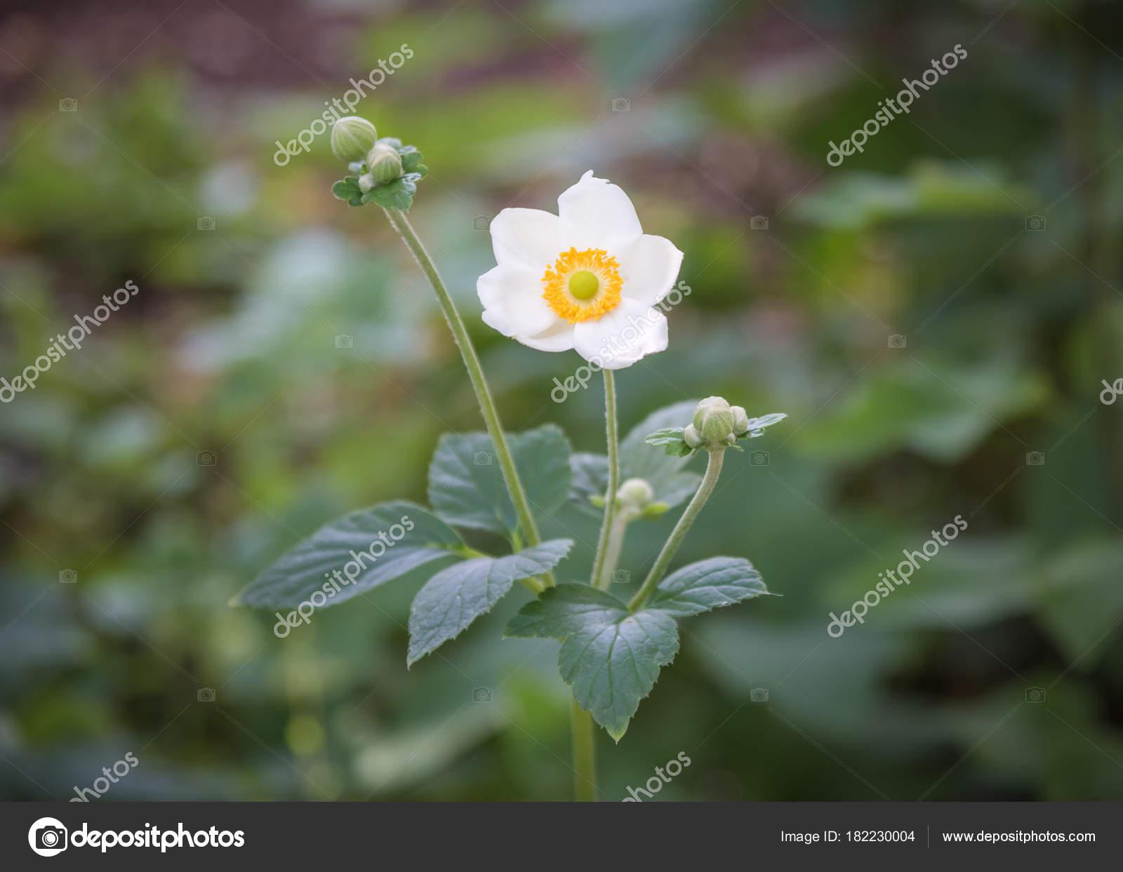 Closeup Single Flower White Japanese Anemone Hupehensis Green
