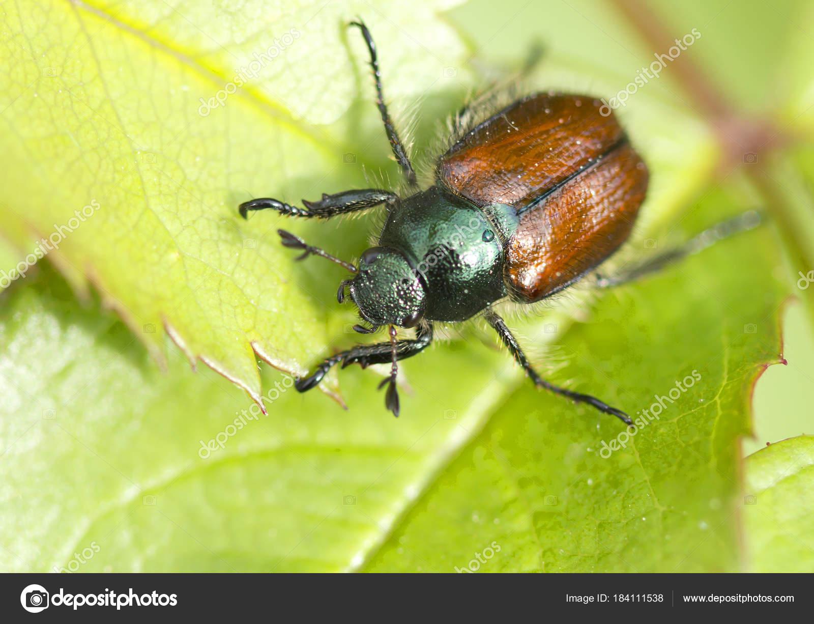 Garten Käfer Ist Diese Arten Oft Großen Büscheln Und Besonders
