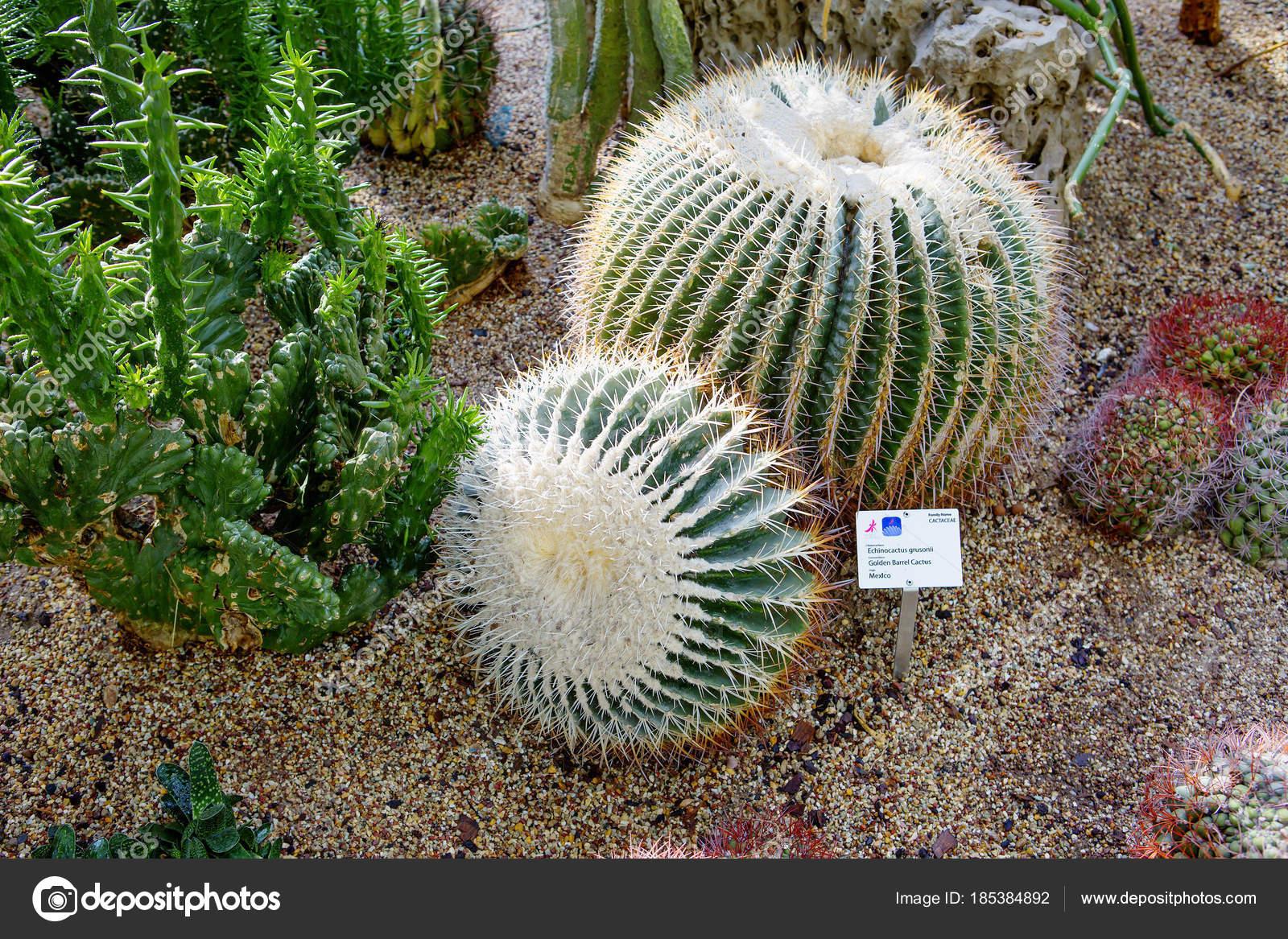 Cactus Barril Dorado Una Planta Suculenta Común México Una Popular ...
