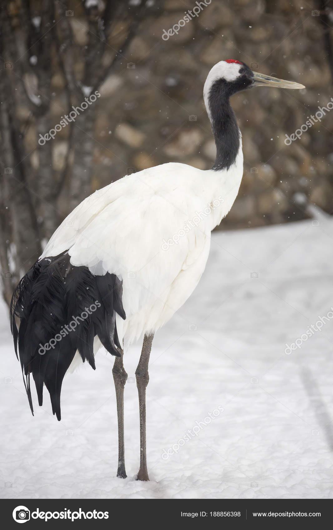 red crowned crane red crowned crane sacred bird japan china stock