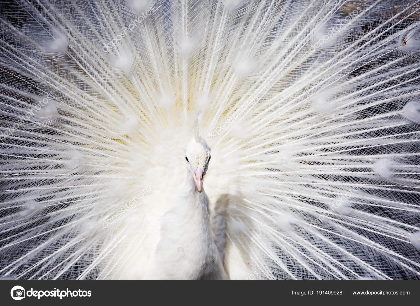Pavone Bianco Pavone Uno Dei Più Belli Uccelli Foresta Dovuto — Foto ...