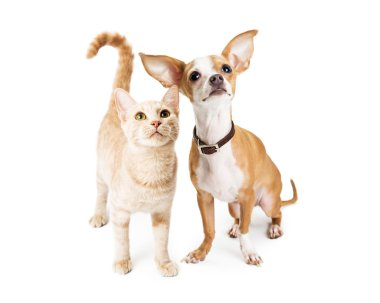 Chihuahua Dog and Young Orange Tabby Cat
