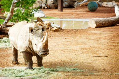 White Rhinoceros New at Phoenix Zoo