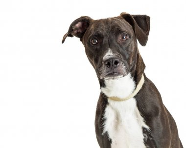 Alert and attentive large dark dog