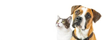 Boxer dog and cat together