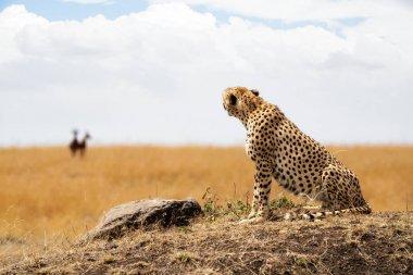 """Картина, постер, плакат, фотообои """"кошка-гепард смотрит на газели """", артикул 162819830"""