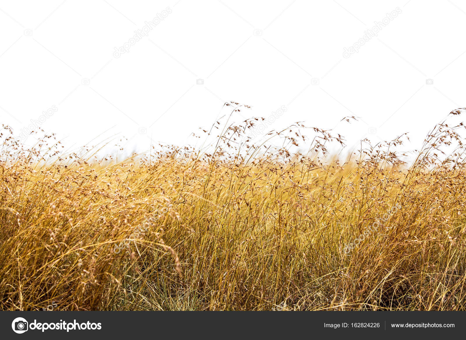 Tall red oat grass stock photo adogslifephoto 162824226 for Tall red grass