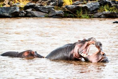 Two hippos play fighting