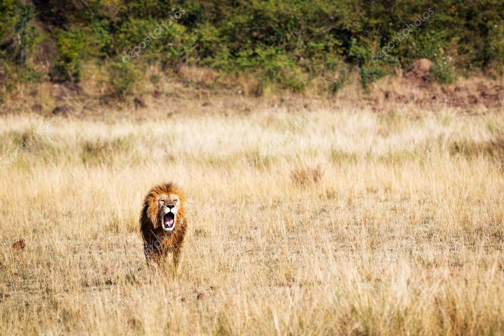 Male lion in grasslands