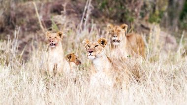 Pride of lion with cubs in tall grass