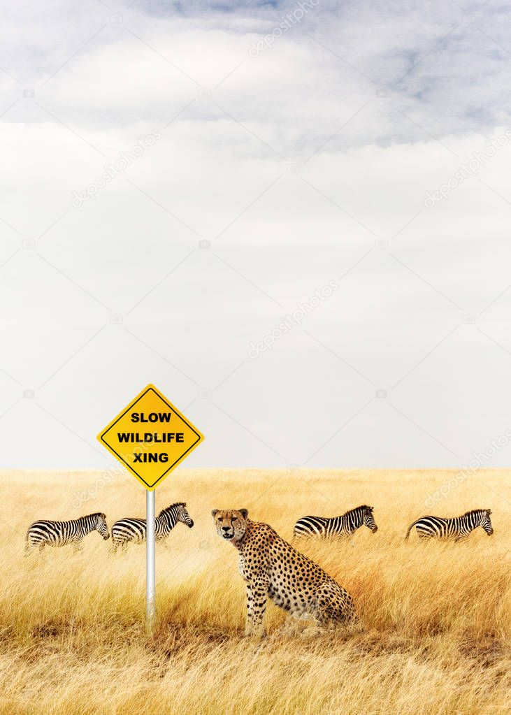 Cheetah sitting near crossing sign