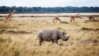 endangered black rhinoceros walking in grasslands