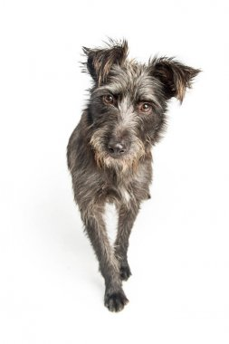 scruffy mixed terrier breed dog