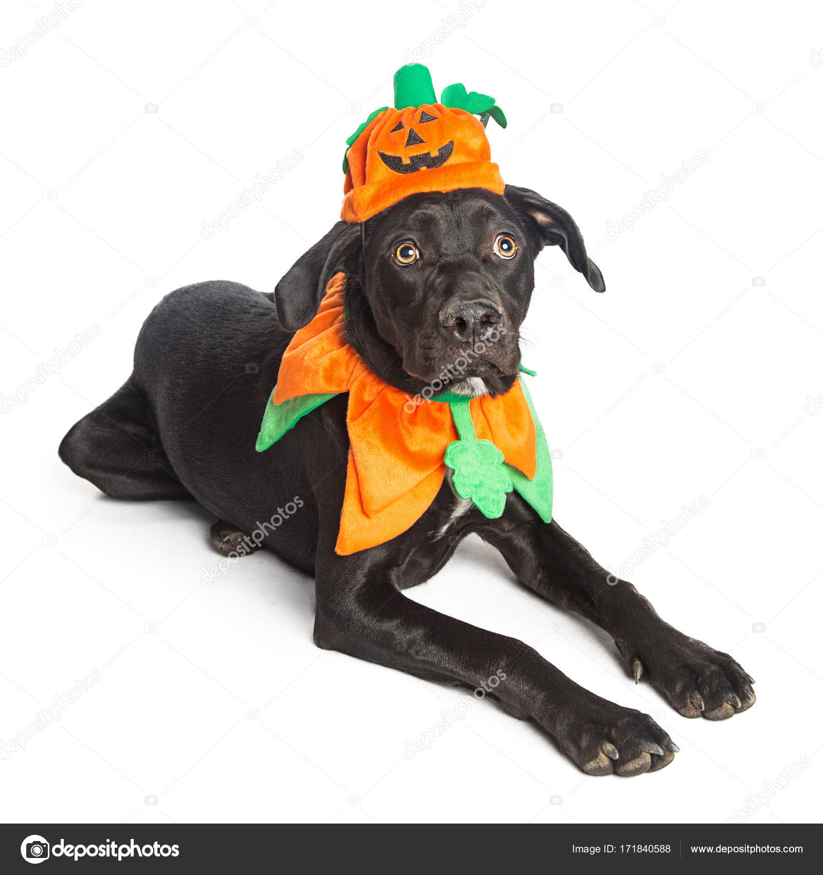 Hund Im Kurbis Halloween Kostum Stockfoto C Adogslifephoto 171840588