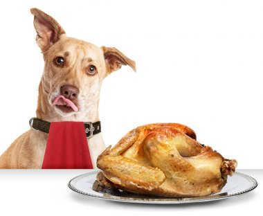Hungry dog with Thanksgiving Turkey