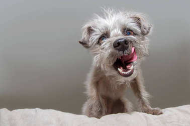 Funny photo of a hungry small mixed terrier breed dog sitting on a bed and looking down with mouth open and tongue out to lick lips