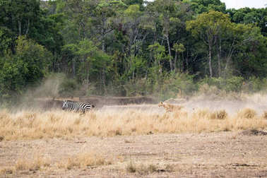 Lioness chasing after zebra in the Hippo Pool area of Masai Mara National Park, Kenya, Africa