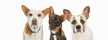Closeup of three rescue dogs with sad facial expressions looking into camera. Sized for website banner or social media header