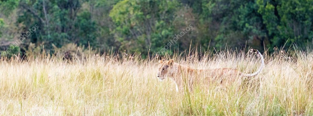 Website banner or social media header of female lioness standing in tall grass of Kenya, Africa with copy space