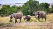 Család három elefántok séta a gyepek Afrika Kenya