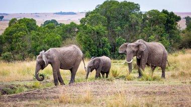 Family of three elephants walking through the grasslands of Kenya Africa stock vector