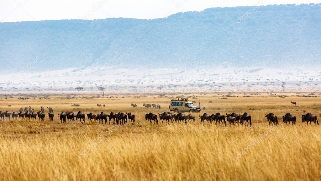 Tourist game drive in grasslands of Kenya Africa with a herd of wildebeest in a line