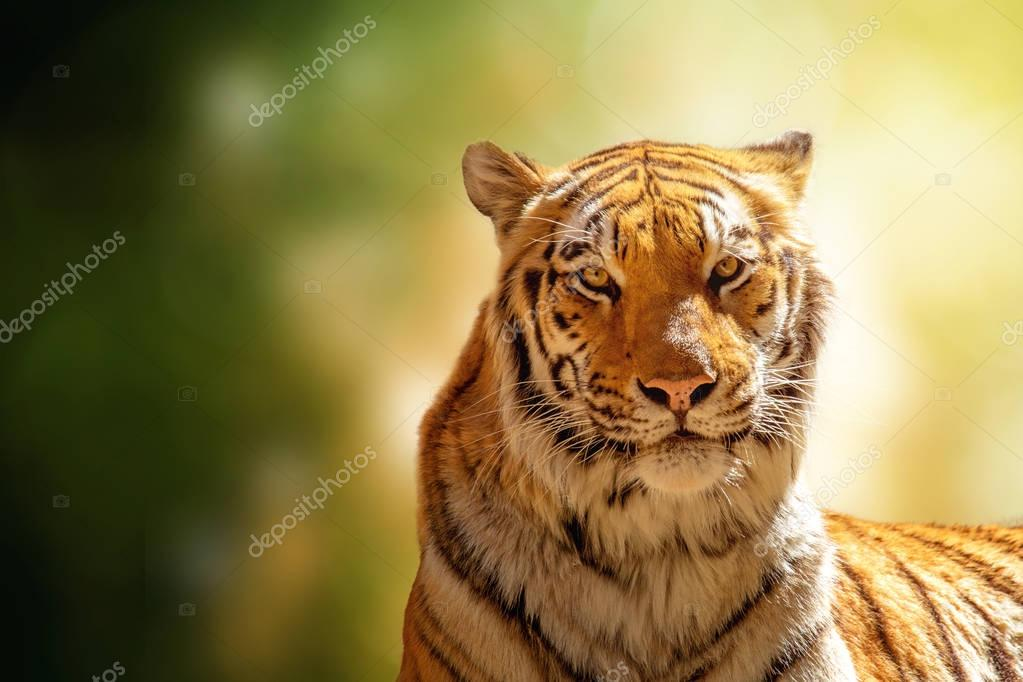 Closeup photo of a beautiful Bengal tiger looking at the camera with room for text in the blurred green nature background.