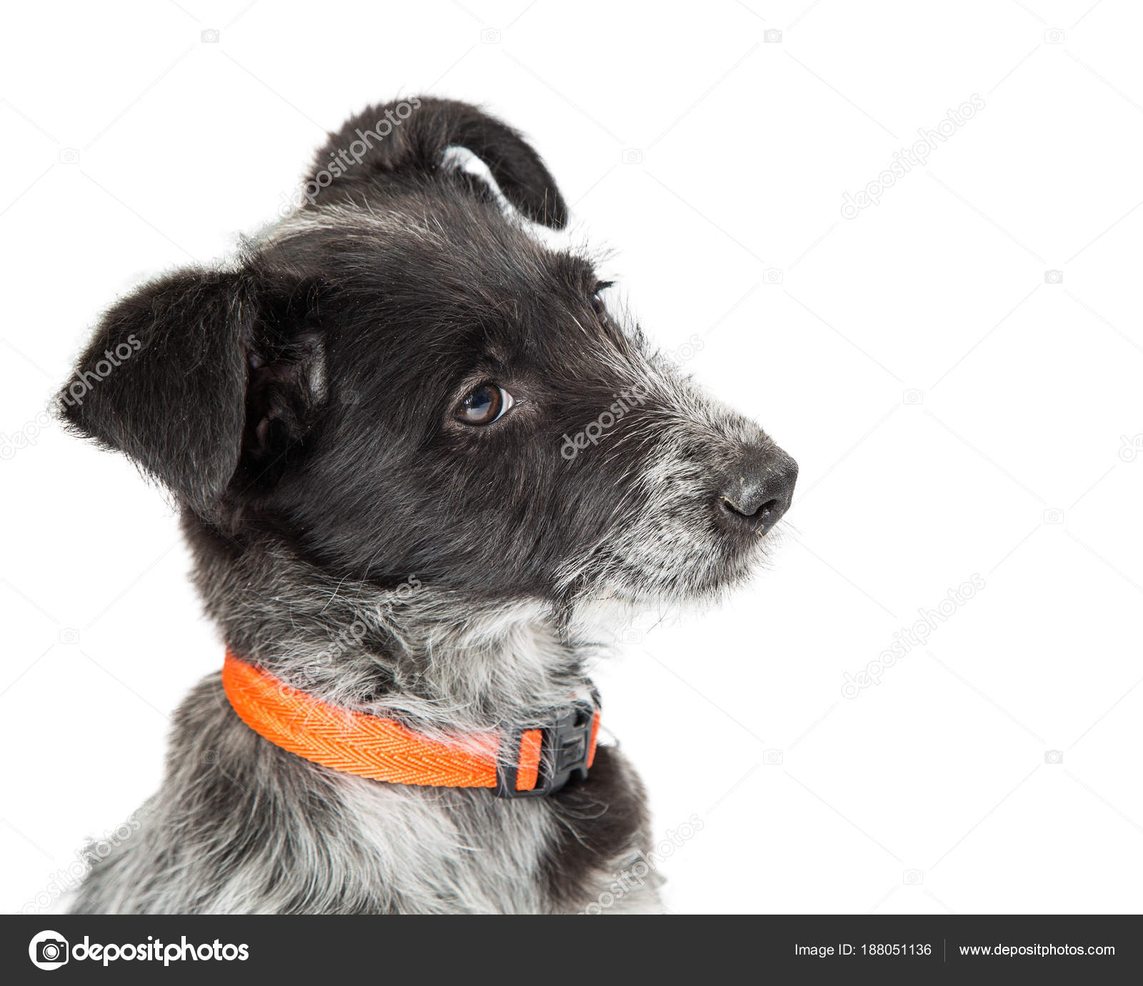 Young Wirehaired Jack Russell Mixed Breed Standing White Background ...