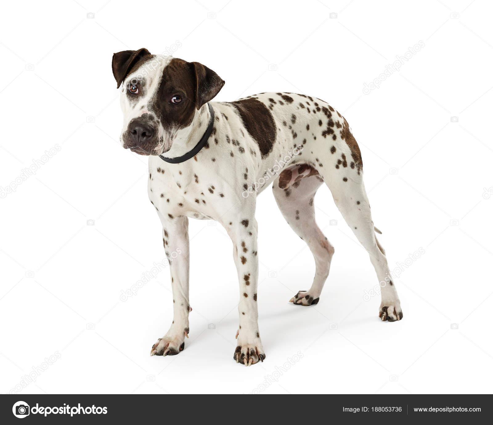 собака белая с черными пятнами какая порода