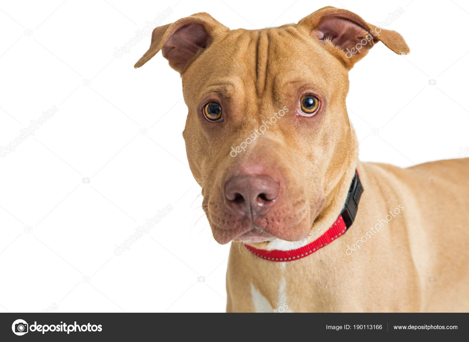 Closeup Portrait Pit Bull Crossbreed Dog Isolated White