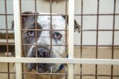 Smutné, velké plemeno psa pitbulteriéra za mřížemi chovatelské stanice na záchranu útulku