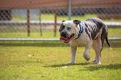 Velký pitbulteriér pes hrát na vypnuto vodítko dog park