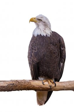 American Bald Eagle perched on a branch. Isolated on white.