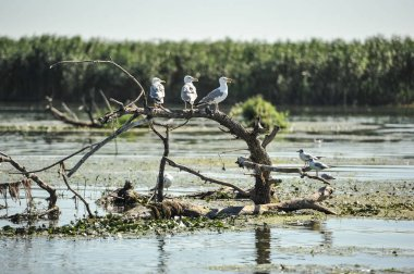 Several gulls are sitting on an old root. Danube delta in Romania.Lake view with birds. A seagull is standing on a floating piece of wood surrounded by water lilies