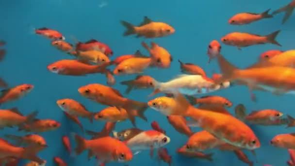Goldfish Aquarium Tank Background Stock Video C Jon2330 184258810