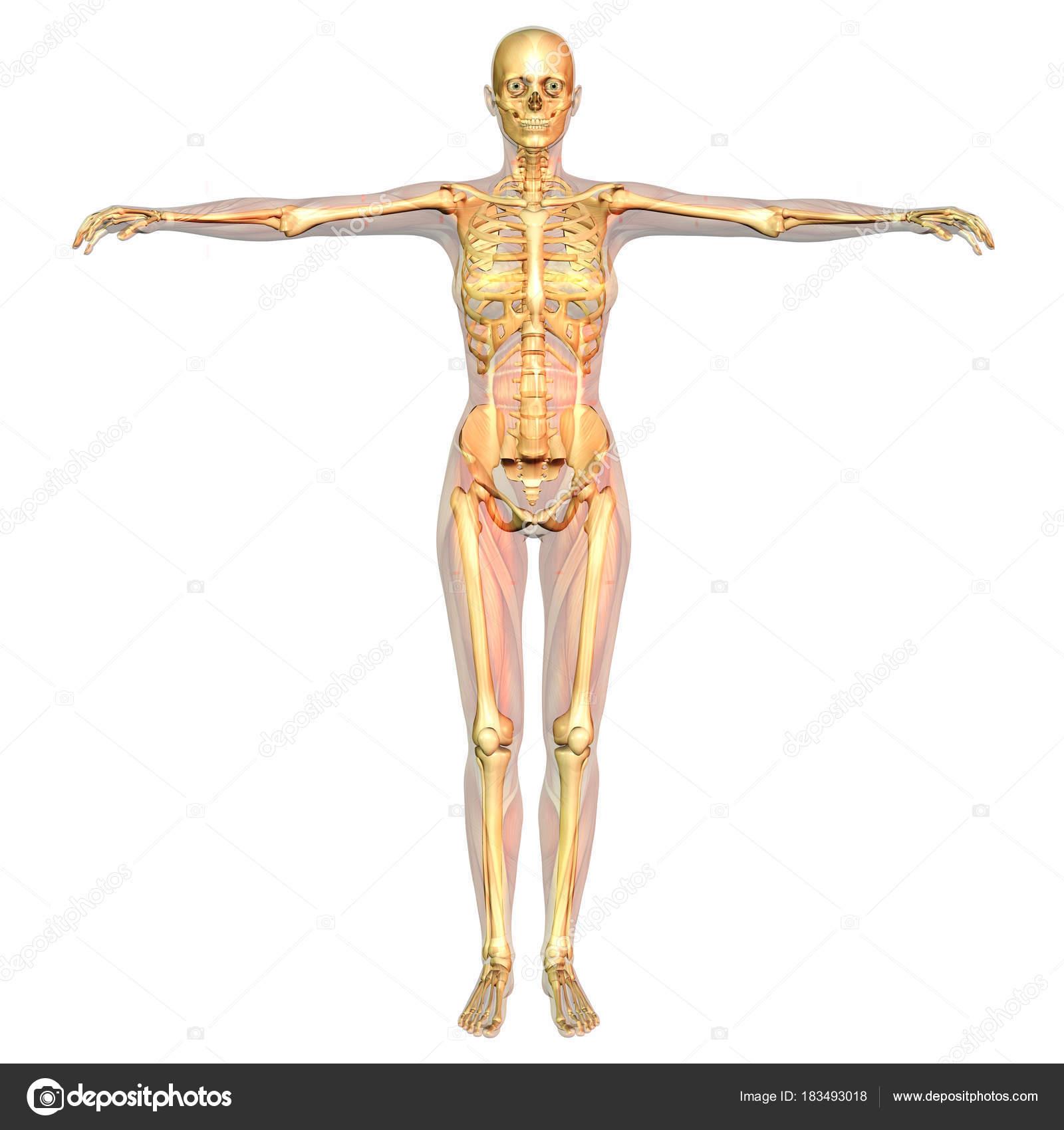 Digitale Visualisierung Der Menschlichen Anatomie — Stockfoto ...