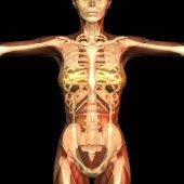 digitális képi emberi anatómia