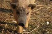 Photo close-up of cute little pig on farm