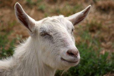 Goat  close up shot
