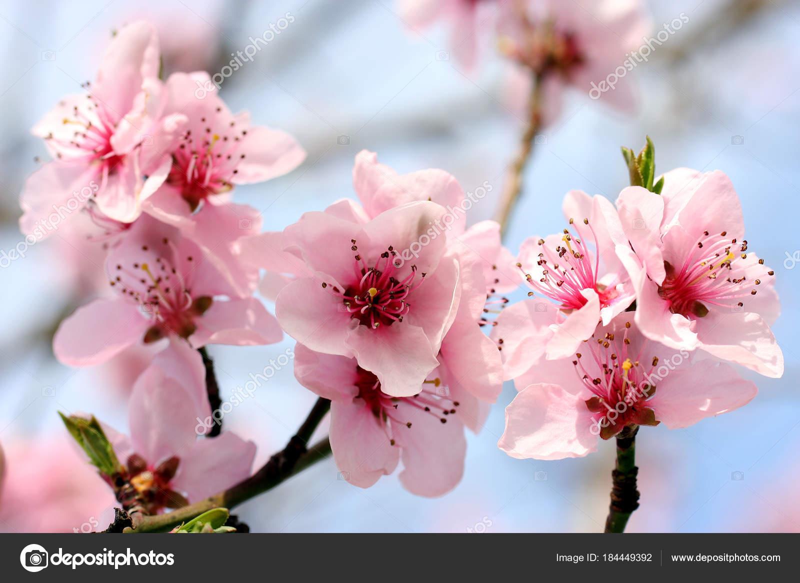 Beautiful Blossom Pink Flowers Tree Stock Photo Chromorange
