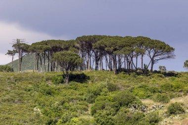 Pine Wood Near Rio Nell Elba, Elba, Tuscany, Italy
