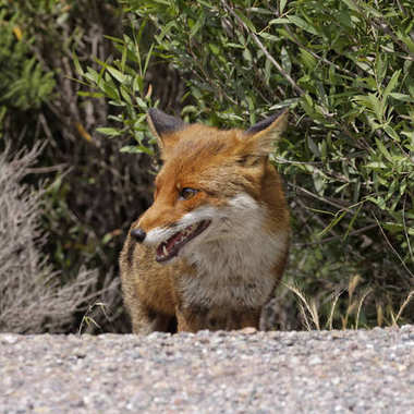 Red Fox Vulpes Vulpes In The Mountains Of Corsica, France