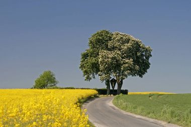 Rape Field With Chestnut Tree In May, Lower Saxony, Germany