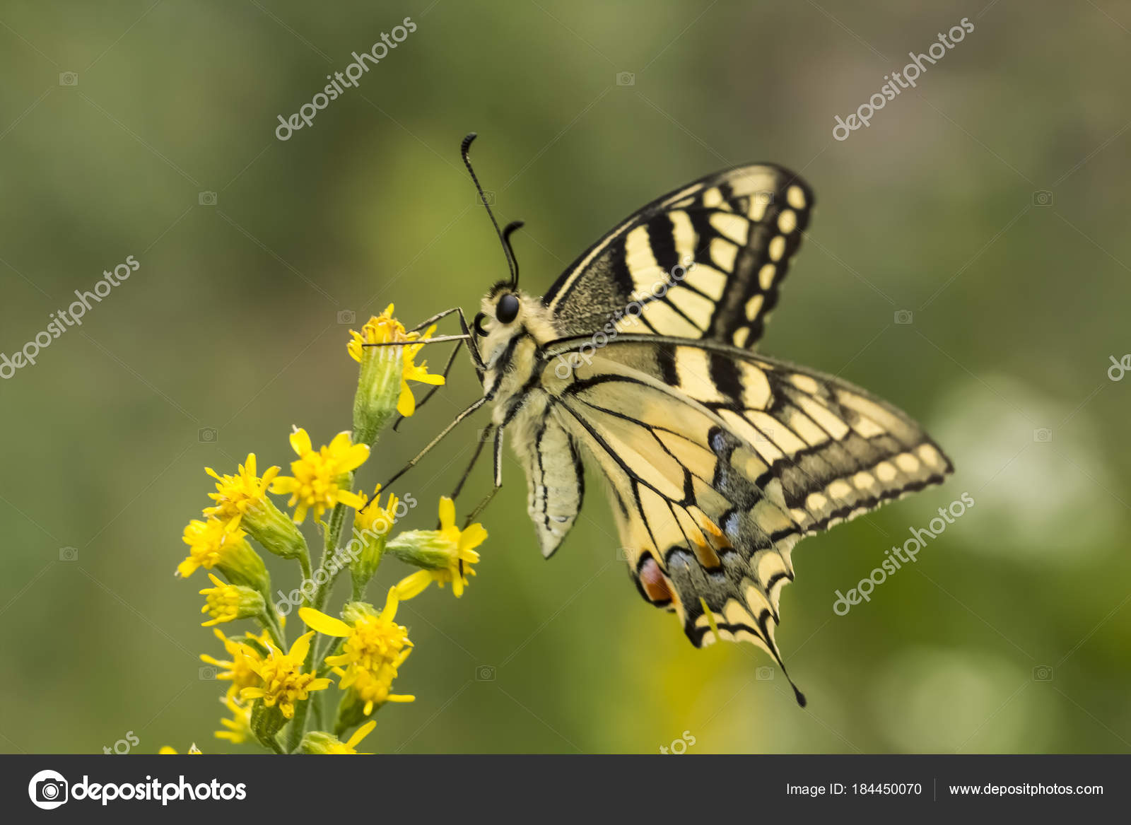 Sưu tập Bộ cánh vẩy 2 - Page 65 Depositphotos_184450070-stock-photo-papilio-machaon-swallowtail-butterfly-lower
