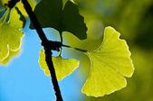 Fotografie close-up of fresh Ginkgo biloba Leaves on background