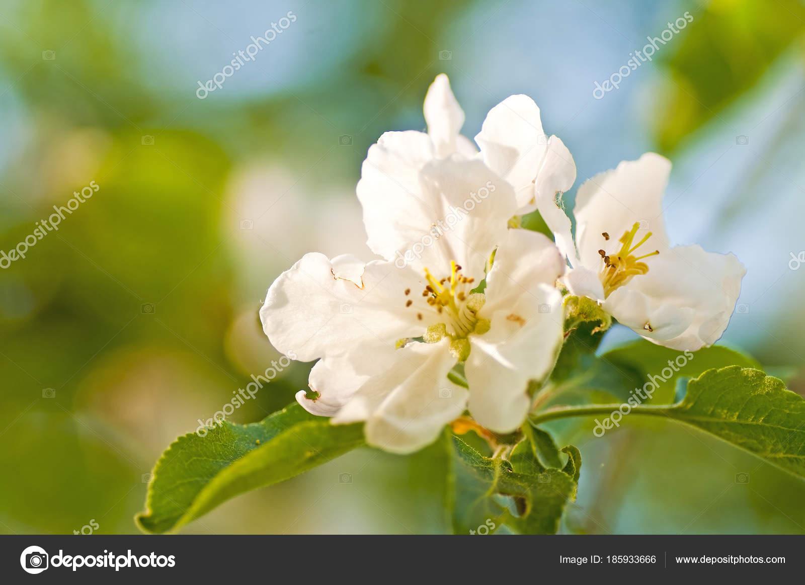Close Beautiful Apple Blossom White Flowers Trees Stock Photo