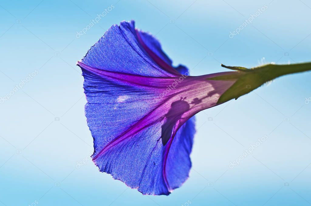 bee sitting in beautiful morning glory flower, close-up