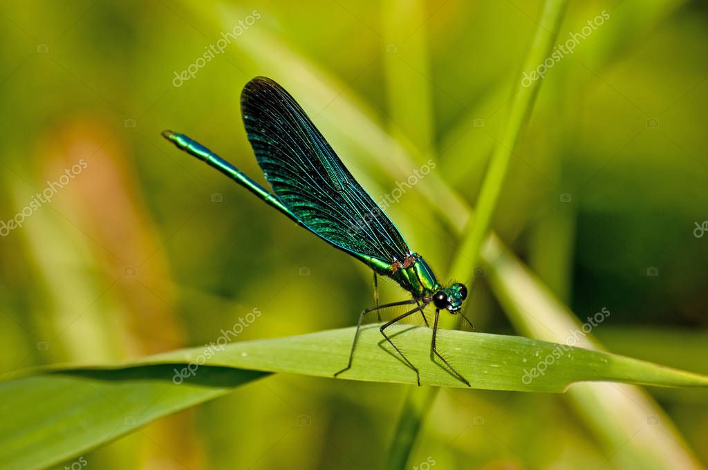 Beautiful Demoiselle, Calopteryx Virgo close up shot
