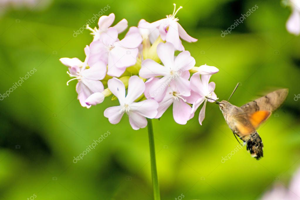 Common Soapwort With Hummingbird Hawk-Moth